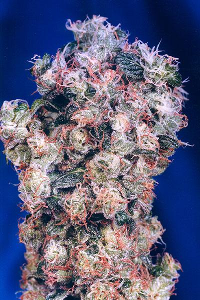 oasismarijuana