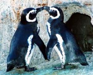 penguins-kissing